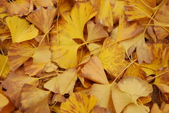 Autumn yellow leaves. Utumn to the ginkgo tree leaves yellow Royalty Free Stock Photography