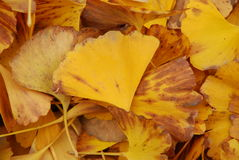 Autumn yellow leaves. Utumn to the ginkgo tree leaves yellow Stock Photos