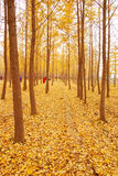Autumn yellow leaves. Utumn to the ginkgo tree leaves yellow Royalty Free Stock Photo