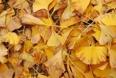 Autumn yellow leaves. Utumn to the ginkgo tree leaves yellow Stock Photos