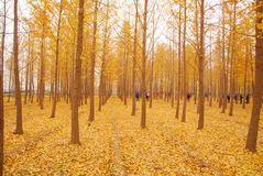 Autumn yellow leaves. Utumn to the ginkgo tree leaves yellow Stock Images