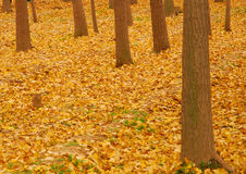 Autumn yellow leaves. Utumn to the ginkgo tree leaves yellow Stock Photography