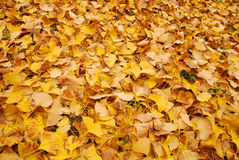 Autumn yellow leaves. Utumn to the ginkgo tree leaves yellow Stock Photo