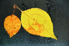 Autumn yellow leaves on wet glass in drops of water. royalty free stock photos