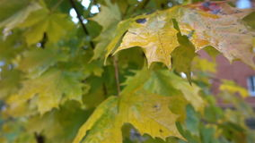 Autumn yellow leaves wet after rain close. HD stock video footage