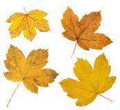 Autumn yellow leaves on white stock photo