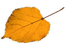 Autumn yellow linden leaf Royalty Free Stock Photography