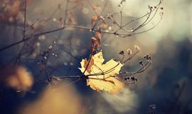 Autumn lonely maple leaf which has fallen and got stuck in branches. Royalty Free Stock Image
