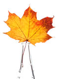 Autumn yellow maple leaf Royalty Free Stock Image