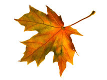 Autumn yellow maple leaf Royalty Free Stock Photo