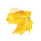 Autumn yellow maple leaf isolated Royalty Free Stock Images