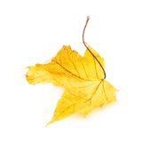 Autumn yellow maple leaf isolated Stock Photos