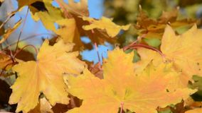 Autumn yellow maple leaf stock video footage