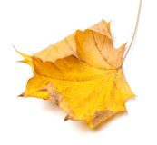Autumn yellow maple leaf Stock Photography