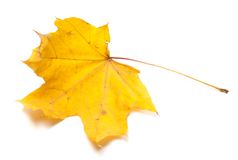 Autumn yellow maple leaf Royalty Free Stock Photography