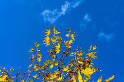 Autumn yellow maple leaves against blue sky on the background Stock Photos