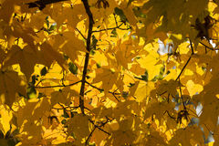Autumn Yellow Maple Leaves Background Fotografia Stock Libera da Diritti