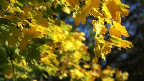Autumn Yellow Maple Leaves Background. Autumn yellow maple branch on a tree stock video footage
