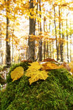 Autumn yellow maple leaves in the fall forest Stock Images