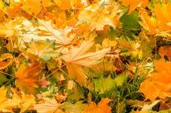 Autumn yellow maple leaves Stock Image