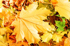 Autumn yellow maple leaves Royalty Free Stock Photo