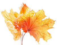 Autumn yellow maple leaves isolated on the white background Royalty Free Stock Photo
