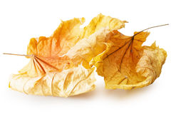 Autumn yellow maple leaves isolated on the white background Royalty Free Stock Photos