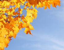 Autumn Yellow Maple Leaves over Blue Sky. Fall Stock Photo