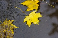 Autumn yellow maple leaves in rain puddle Stock Images