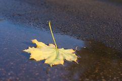 Autumn yellow maple leaves in rain puddle Royalty Free Stock Photo