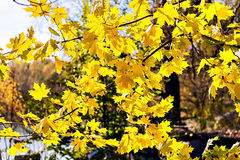 Autumn yellow maple leaves in sunlight swaying in the wind Stock Photo