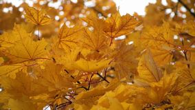 Autumn yellow maple leaves swaying in the wind.  stock video