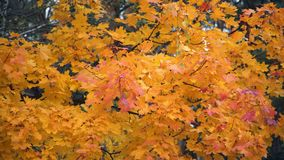 Autumn yellow maple leaves swaying in the wind.  stock footage