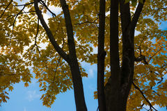 Autumn. Yellow maple leaves on a tree Stock Image