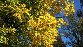 Autumn Yellow Maple Leaves on a Tree and Blue Sky. Autumn yellow maple branch on a tree and blue sunny sky motion background stock footage