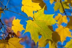Autumn yellow maple leaves Royalty Free Stock Photos