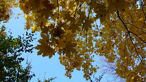 Autumn, yellow maple leaves on a tree, leaf fall in Sophia park, Uman stock video