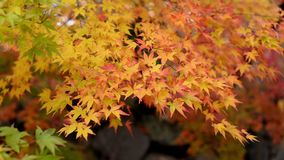 Autumn yellow maple leaves in the wind stock video