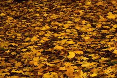 Autumn Yellow Maple Tree Royalty Free Stock Images