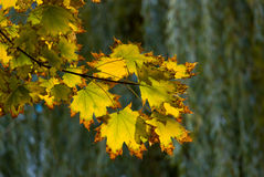 Autumn Yellow Maple Tree Stock Photography