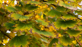 Autumn Yellow Maple Tree Royalty Free Stock Photography