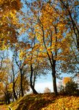 Autumn maple trees in park. Autumn yellow maple trees in sunny city park Royalty Free Stock Photo