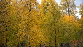 Autumn yellow maple trees in the wind stock footage