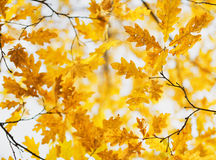 Yellow oak leaves in fall season Royalty Free Stock Photos