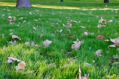 Autumn yellow oak leaves on green grass in the park. Image with shallow depth of focus. Stock Photos