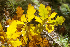 Autumn yellow oak leaves leaves background on sunny day Stock Image