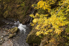 Autumn yellow oak leaves Stock Photography