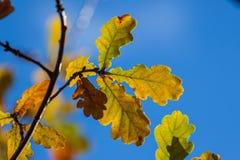 Autumn yellow oak leaves Stock Image
