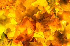 Autumn yellow, orange, red, brown maple leaves background concept image Royalty Free Stock Photography