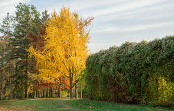 Autumn yellow park trees. And leaves on ground Royalty Free Stock Photography